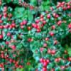 Кизильник — ягоди з-під снігу