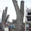 Чому у Борисполі плачуть дерева